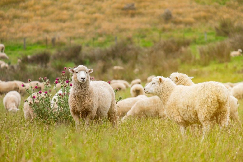 Schafschurwolle Matratze 2